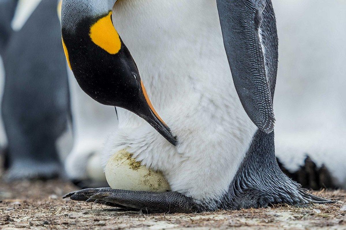 Как «рожают» и выхаживают своих детей пингвины: трогательные фото