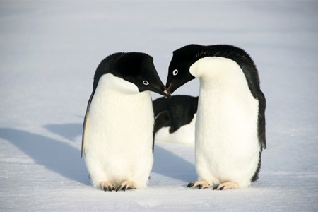 Предложение  руки у пингвинов
