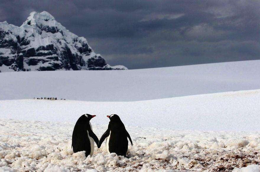 Пингвины идут рука об руку