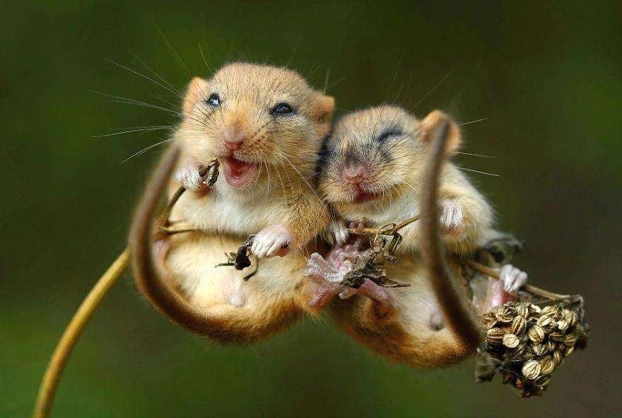 Смеющаяся парочка мышей
