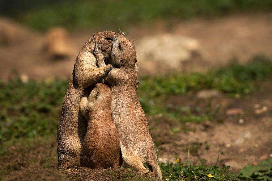 Семья луговых собачек