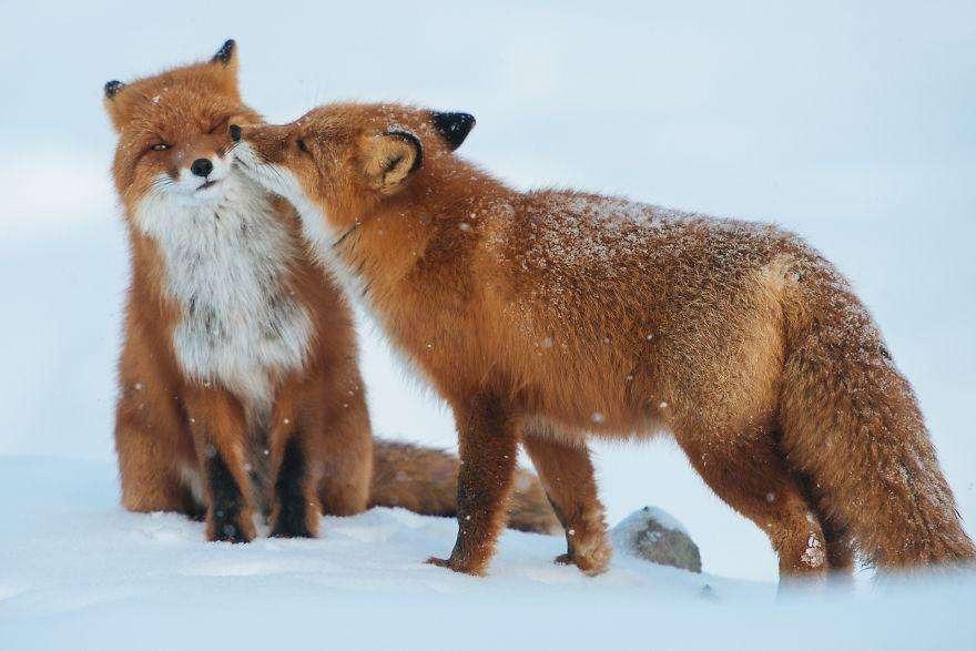 Влюбленные лисицы