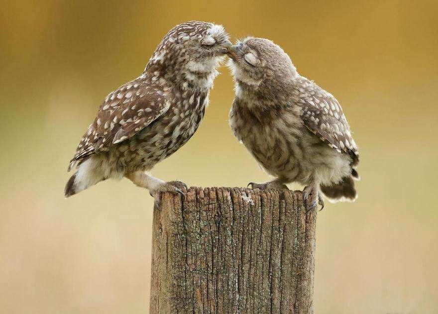 Поцелуй сов