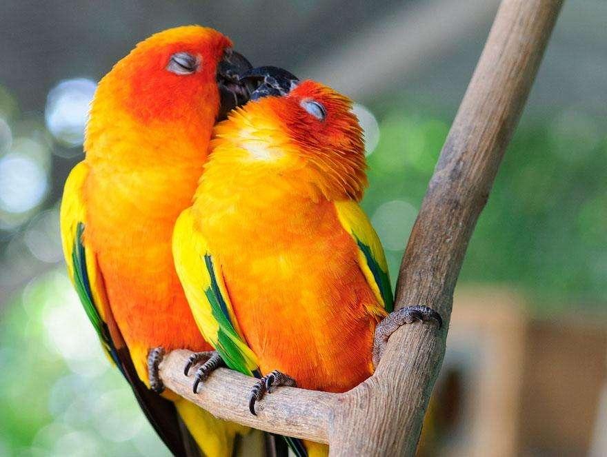 Влюбленные попугаи