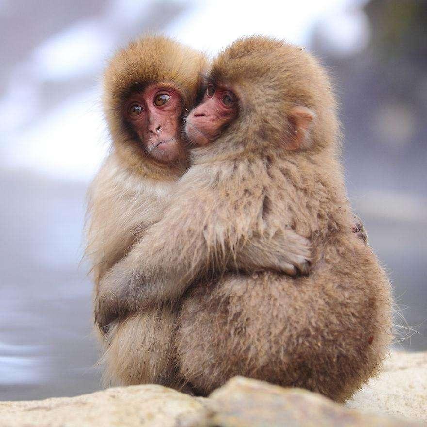 Семейная пара обезьян
