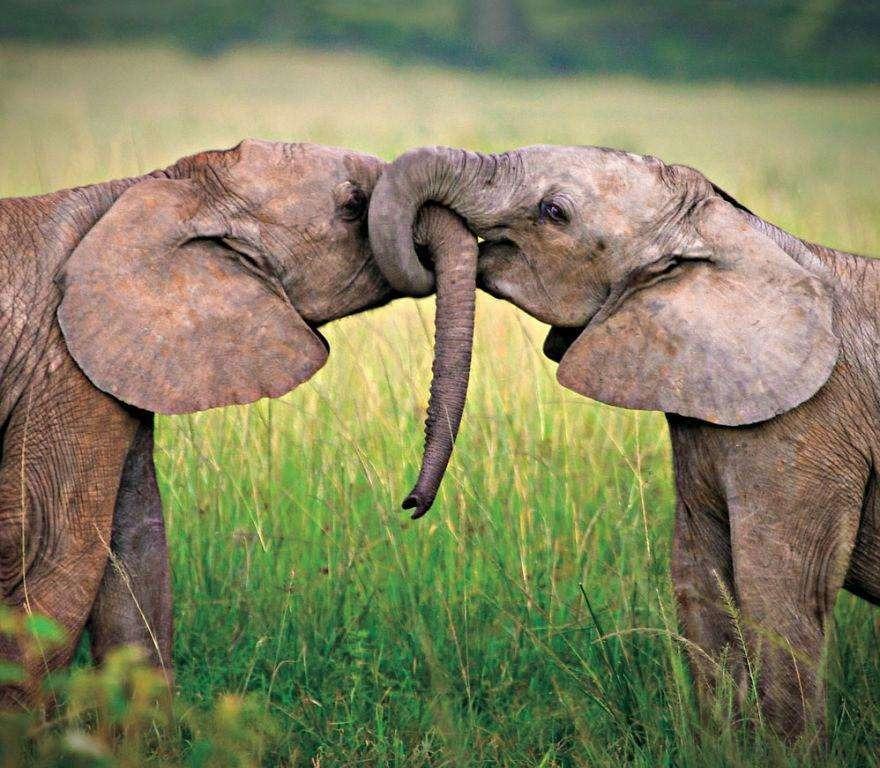 Слоновий поцелуй