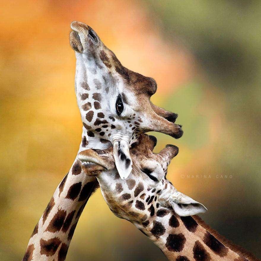 Счастливые жирафы
