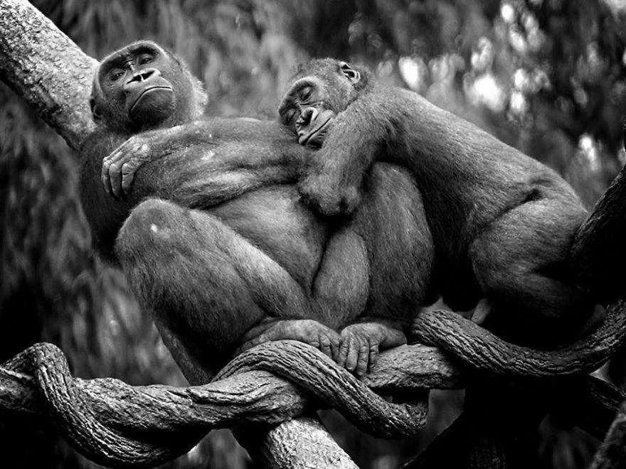 Семейная пара горилл