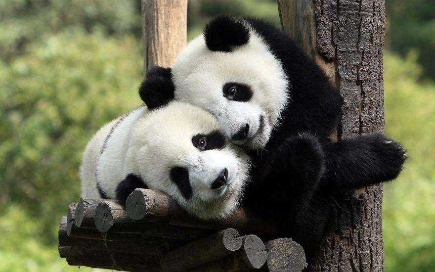 Пара панд