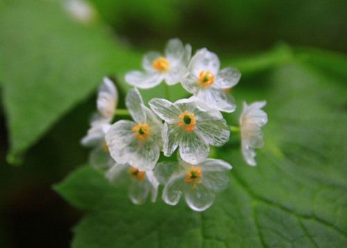 Цветок, который становится прозрачным после дождя
