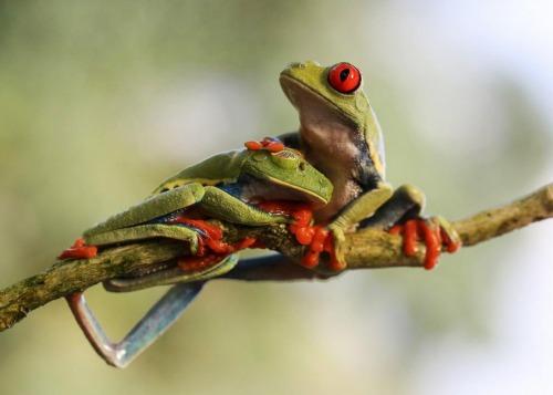 Ромео, «самая одинокая лягушка в мире», всё же нашел свою Джульетту
