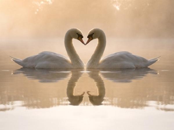 Обои о любви: Лебединая нежность