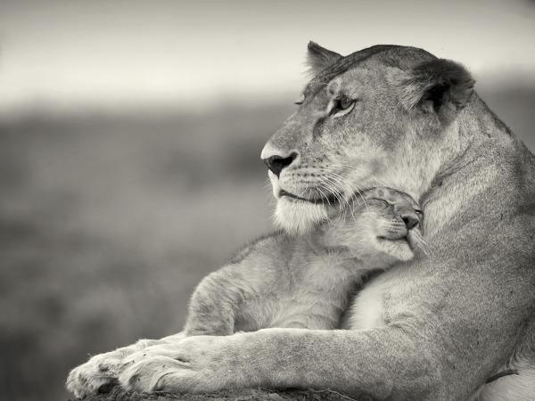 Обои о любви: Львенок и львица