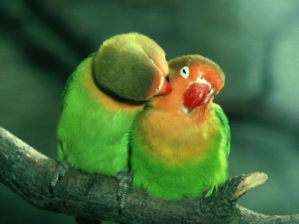 Обои о любви: Влюбленные попугайчики