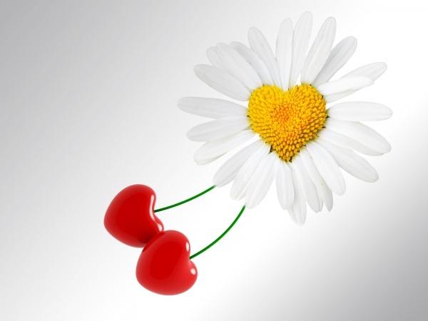 Обои о любви: Ромашка и вишенки