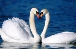 Обои о любви: Лебеди