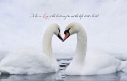 Обои о любви: Лебединая верность