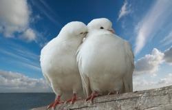 Обои о любви: Влюбленные голуби