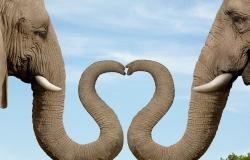 Обои о любви: Влюбленные слоны