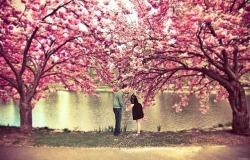 Обои о любви: Влюбленные среди цветущей сакуры
