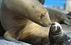 Обои о любви: Поцелуй морских котиков