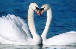 Обои о любви: Влюбленные лебеди