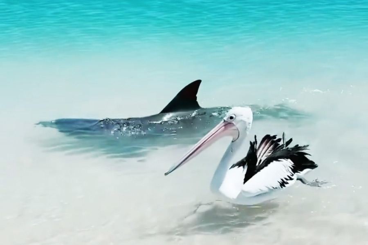 Видео: В Австралии подружились дельфин и пеликан